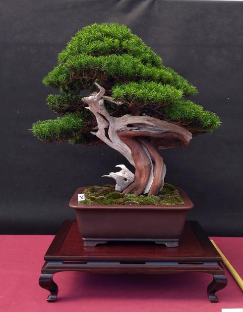 Oltre Il Verde - Bonsai Competition 6 Tasso-11