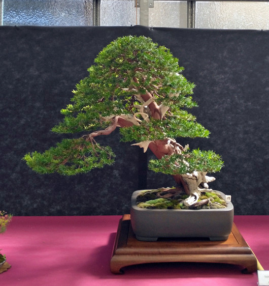 Oltre Il Verde - Bonsai Competition 6 Tasso10
