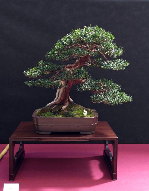 Oltre Il Verde - Bonsai Competition 6 Taxus10