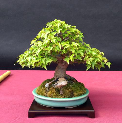 Oltre Il Verde - Bonsai Competition 6 Triden10