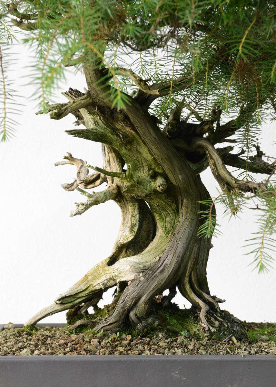 Juniperus Rigida Giapponese (Tosho) Tronco10
