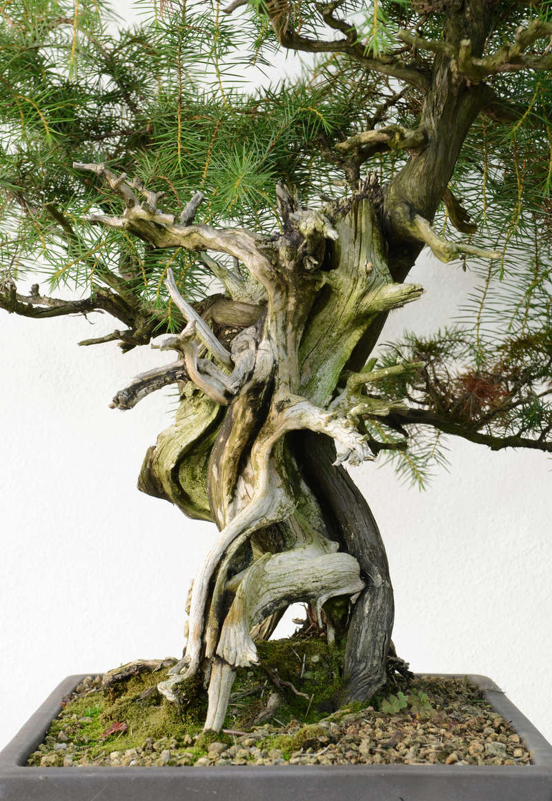 Juniperus Rigida Giapponese (Tosho) Tronco11