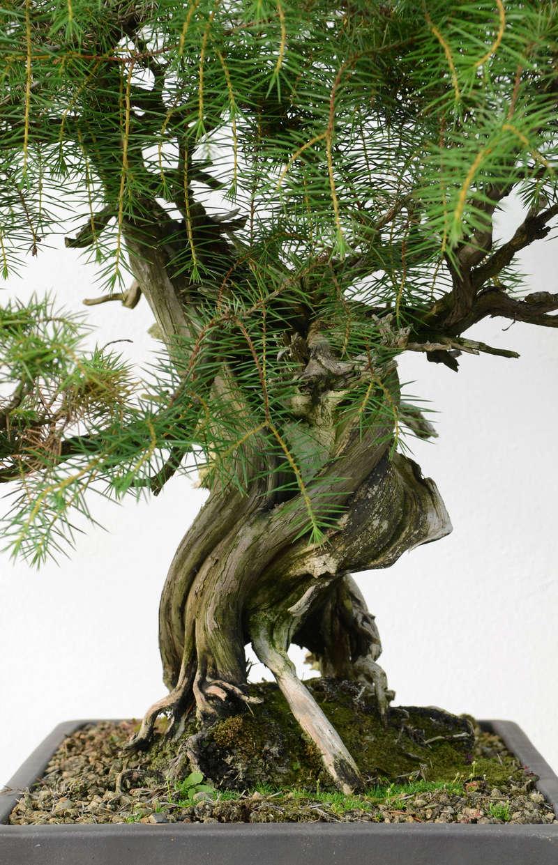 Juniperus Rigida Giapponese (Tosho) Tronco12