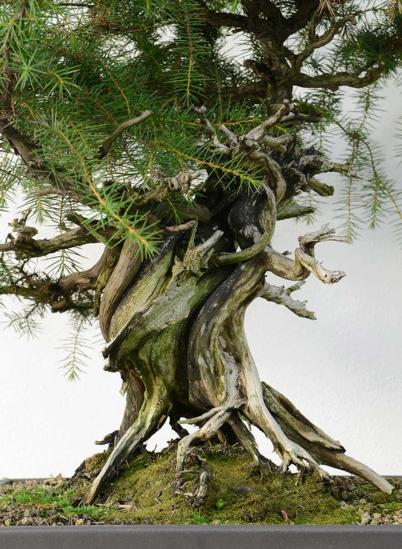 Juniperus Rigida Giapponese (Tosho) Tronco13