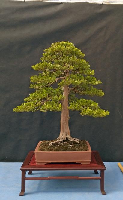Oltre Il Verde - Bonsai Competition 6 Tuja-s10