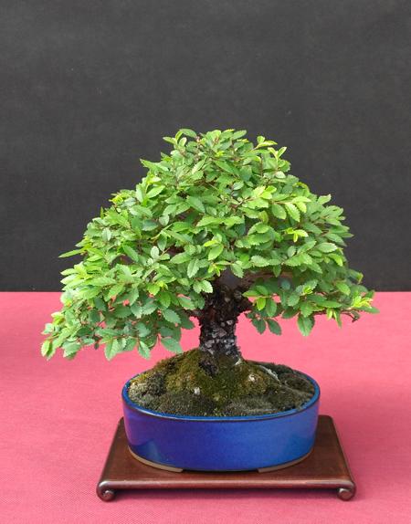 Oltre Il Verde - Bonsai Competition 6 Ulmus-10