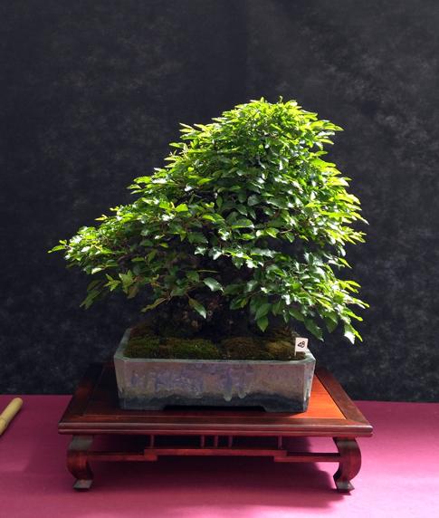 Oltre Il Verde - Bonsai Competition 6 Ulmus-11