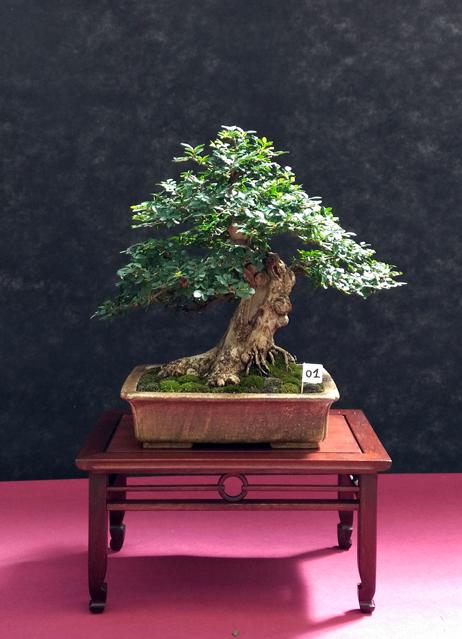 Oltre Il Verde - Bonsai Competition 6 Ulmus-12