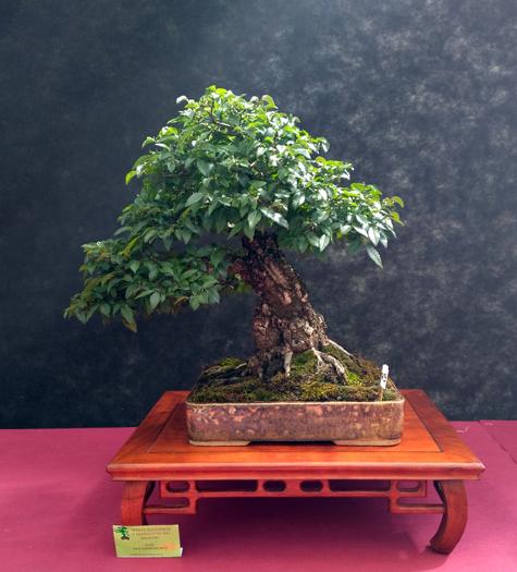 Oltre Il Verde - Bonsai Competition 6 Ulmus-13