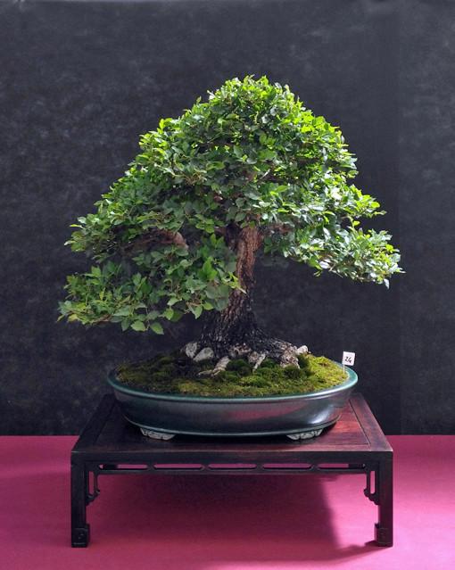 Oltre Il Verde - Bonsai Competition 6 Ulmus-14
