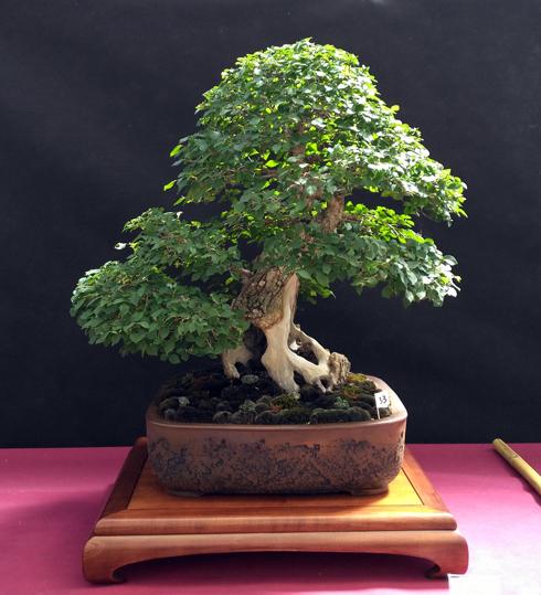 Oltre Il Verde - Bonsai Competition 6 Ulmus10