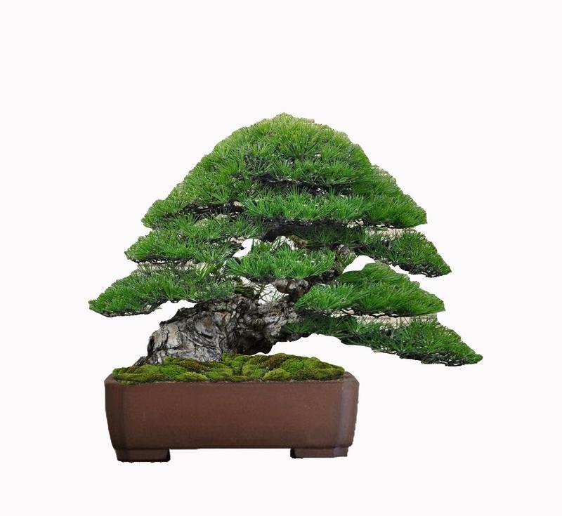 Pino Nero Giapponese 2 - Pinus Thumbergii 2 Virtua20