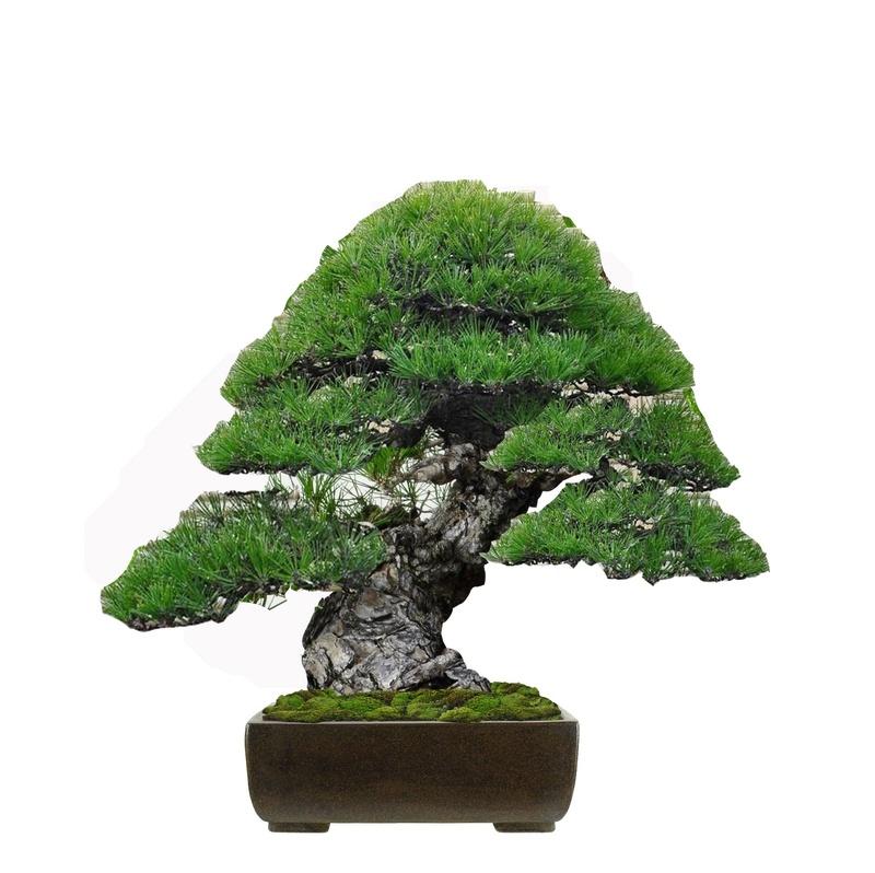 Pino Nero Giapponese 2 - Pinus Thumbergii 2 Virtua21