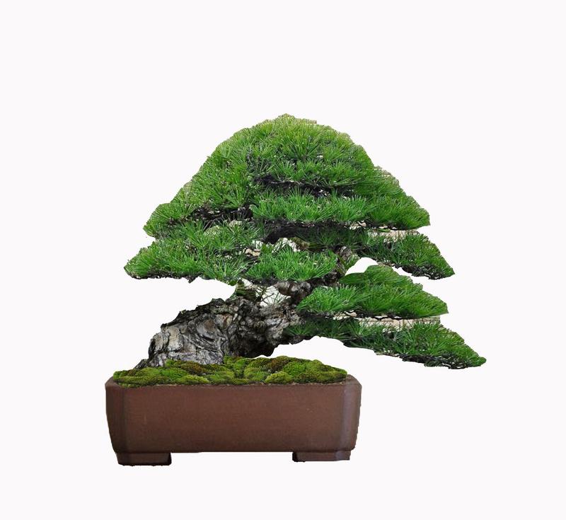 Pino Nero Giapponese 2 - Pinus Thumbergii 2 Virtua22