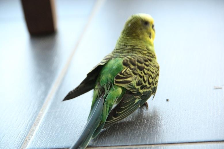 plumes abîmées sur le dos et position étrange Img_7914