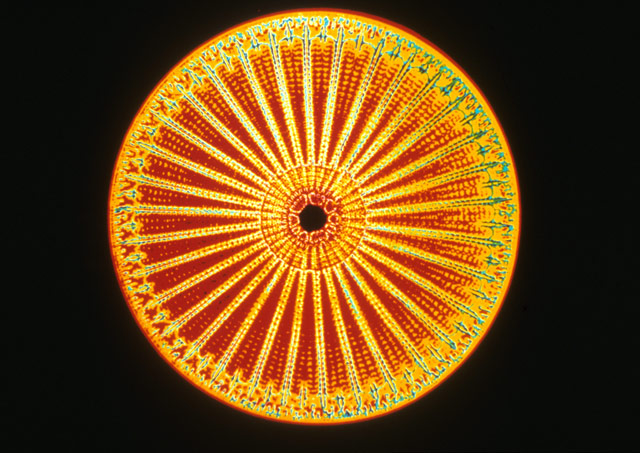 The amazing diversity,  beauty, and enigmatic genome of Diatoms 1995_110