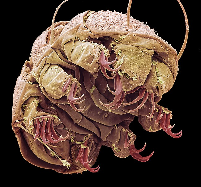 Tardigrade  extremophile with superpowers 32979210