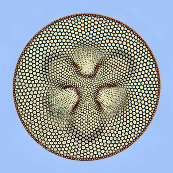 The amazing diversity,  beauty, and enigmatic genome of Diatoms 3e313910