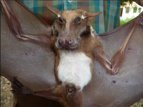 Spectacular bats Aburi_10