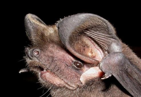 Spectacular bats Bats_210