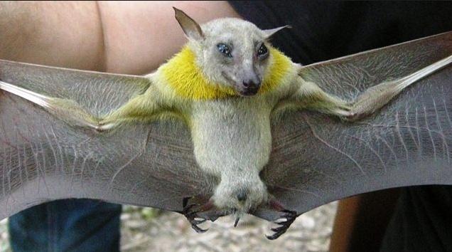 Spectacular bats Epomop10