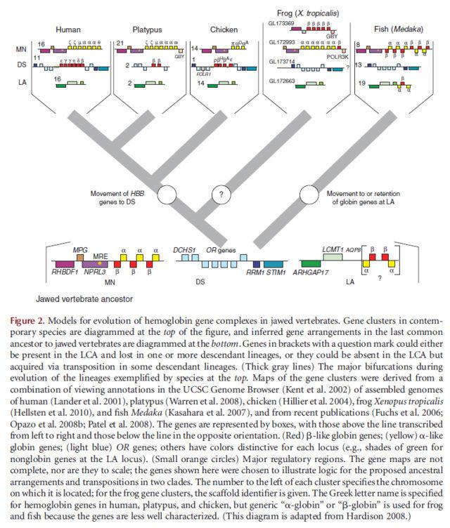 THE AMAZING HEMOGLOBIN MOLECULE Evolut11
