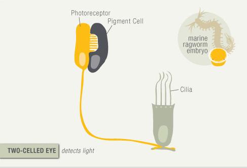 Photoreceptor cells point to intelligent design Eye_ev10