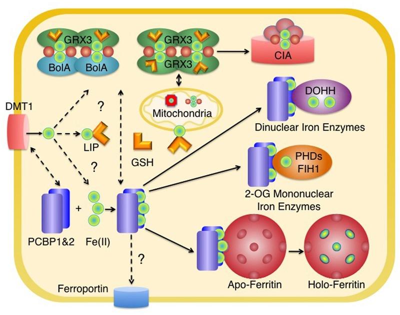 Iron Uptake and Homeostasis in Prokaryotic Microorganisms Fphar-10