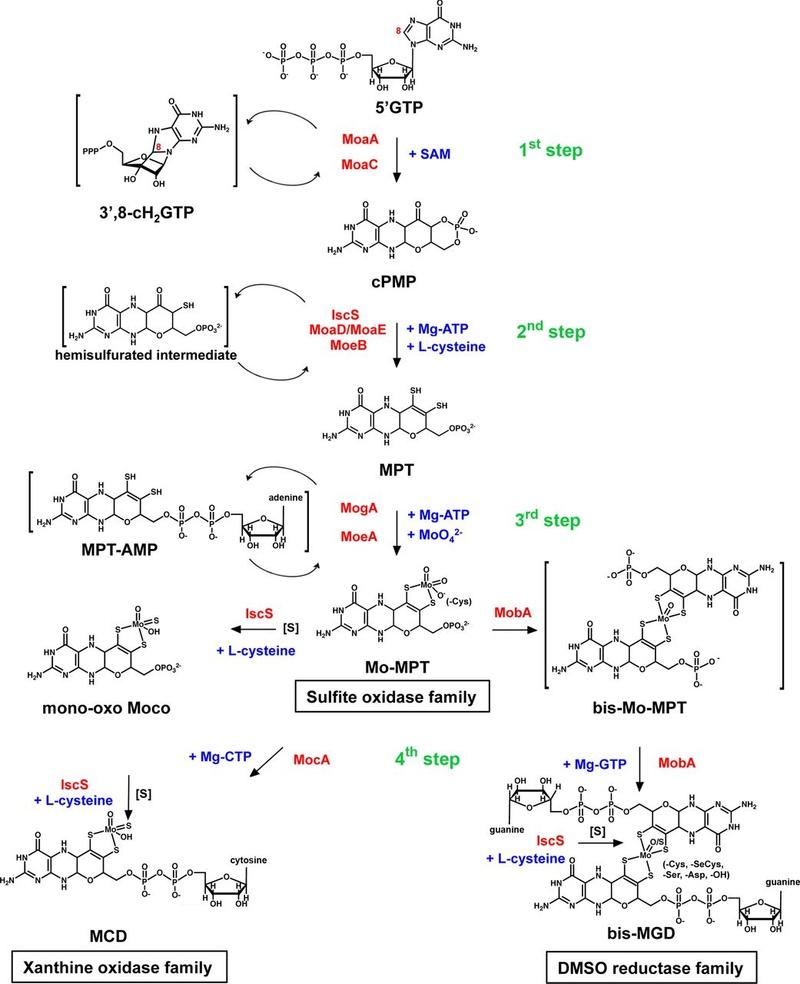Molybdenum, essential for life Fuv04311