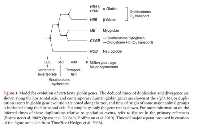 THE AMAZING HEMOGLOBIN MOLECULE Hemogl10