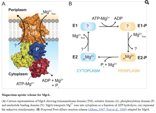 Magnesium and magnesium transporters, another example of cell  interdependence comes to light Magnes10