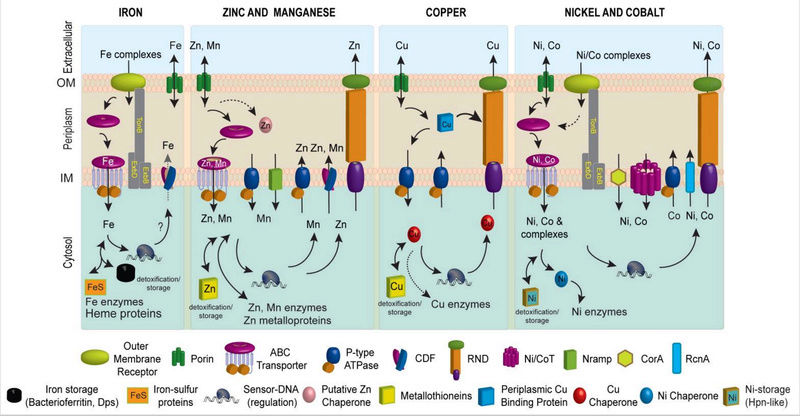 Metal ions in biological cells, essential for life Metal_11
