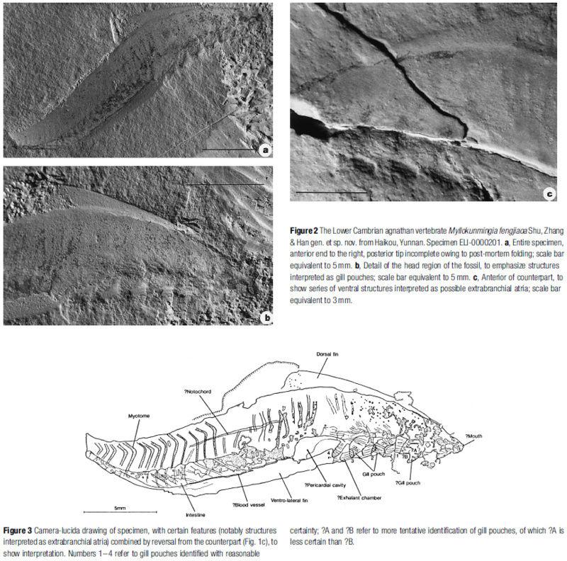Evolution of fish Myllok10
