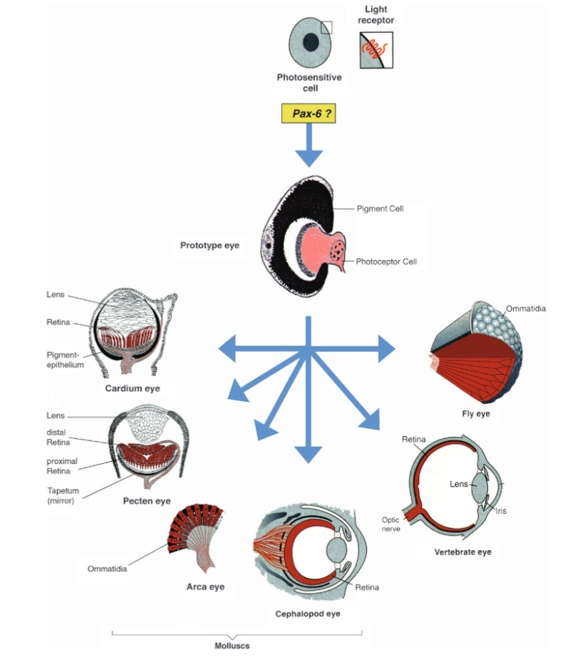 Critique to the general evolutionary model of the human eye New_pe10