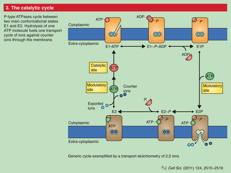 How intracellular Calcium signaling,  gradient and its role as a universal intracellular regulator points to design Panel_14