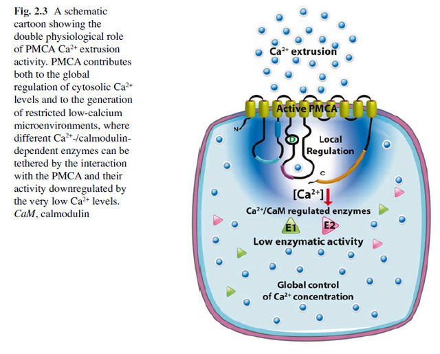 How intracellular Calcium signaling,  gradient and its role as a universal intracellular regulator points to design Pmca_c10