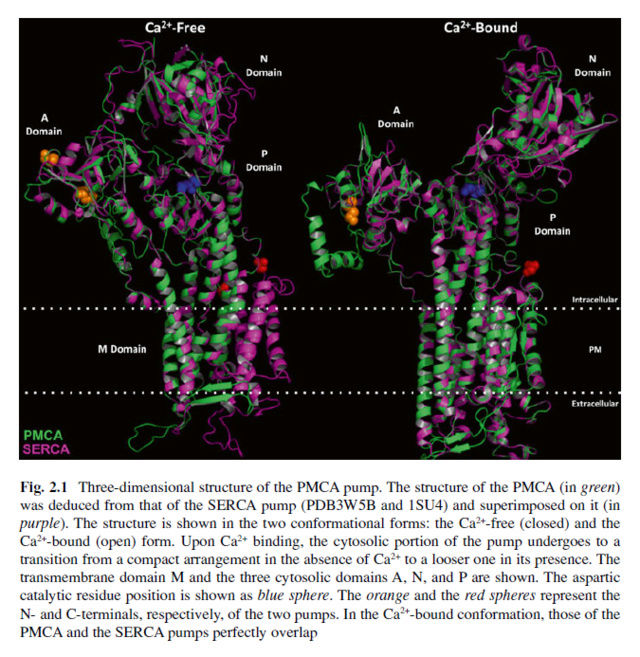 How intracellular Calcium signaling,  gradient and its role as a universal intracellular regulator points to design Pmca_p11