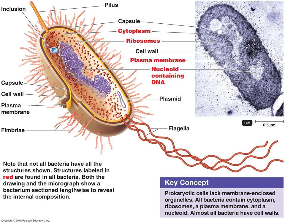 The prokaryotic cell membrane Prokar11