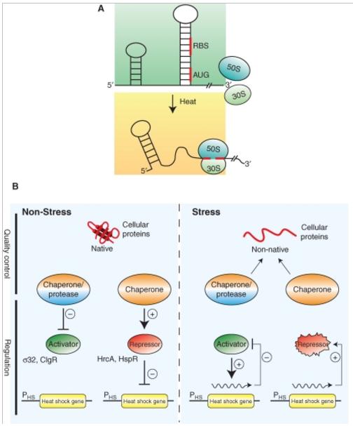 Homeostasis  in cells, and origin of life scenarios Regula12