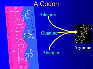 Origin of translation of the 4 nucleic acid bases and the 20 amino acids, and the universal assignment of codons to amino acids Rterte11