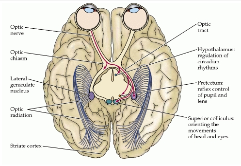 The irreducible complex system  of the eye, and eye-brain interdependence Sa_med10