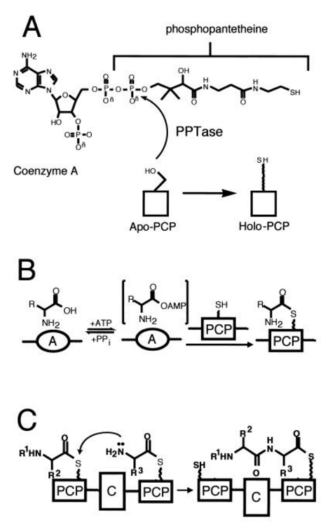 Iron Uptake and Homeostasis in Prokaryotic Microorganisms Sidero10