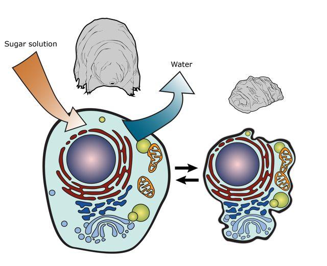 Tardigrade  extremophile with superpowers Tardig10