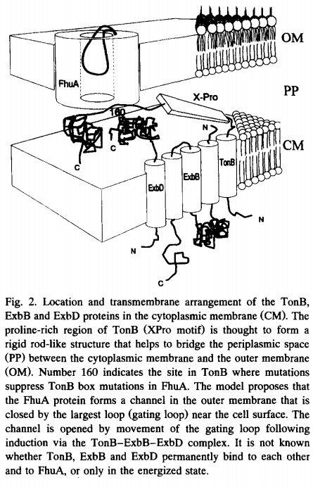 Iron Uptake and Homeostasis in Prokaryotic Microorganisms Tonb-e10
