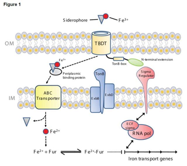 Iron Uptake and Homeostasis in Prokaryotic Microorganisms Tonb-e11