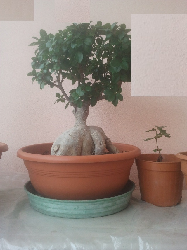 Ficus (credo) ginseng allo stato brado o quasi..... - Pagina 2 2013-110