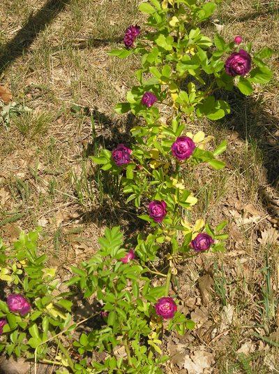 Rosa 'Blue Magenta'  - Page 4 Blue_m11