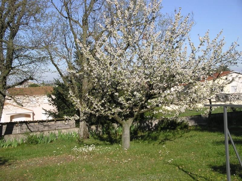 le cerisier en fleurs Imgp0086