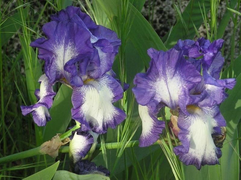 Iris : floraison 2014 - Page 6 Imgp0101