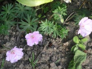 geranium vivace - Page 3 Imgp0109